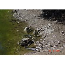 """Νεκρά ψάρια στον Πηνειό """"Ποταμό"""""""